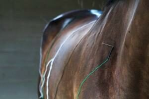 equine acupuncture Palm Beach Equine Clinic
