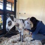 Madison Donkey Success Story Palm Beach Equine Clinic Abby Berzas success story equine hospital