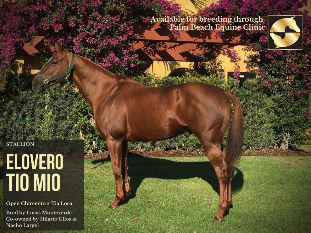 breeding stallion available through palm beach equine clinic, elovero tio mio